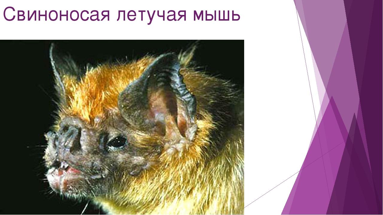 Свиноносая летучая мышь