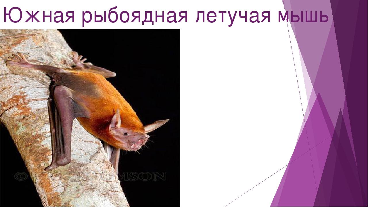 Южная рыбоядная летучая мышь