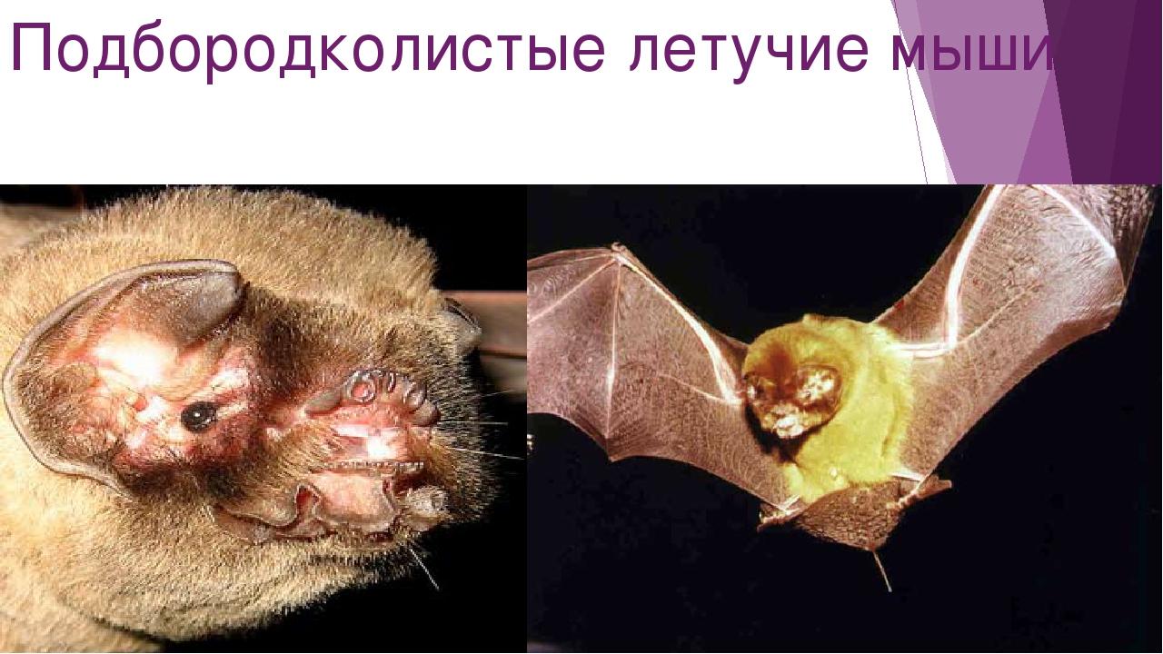 Подбородколистые летучие мыши