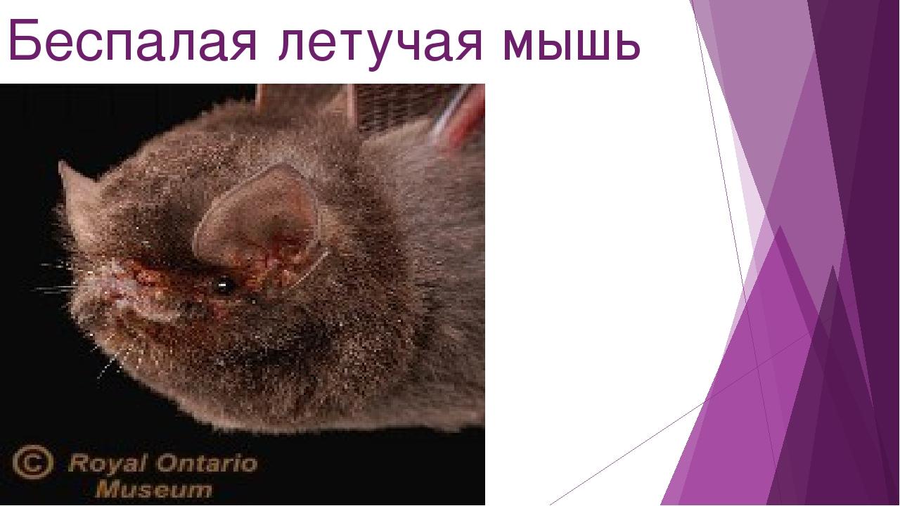 Беспалая летучая мышь