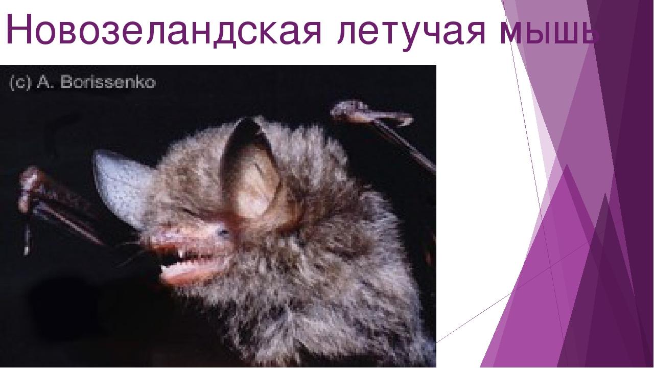 Новозеландская летучая мышь