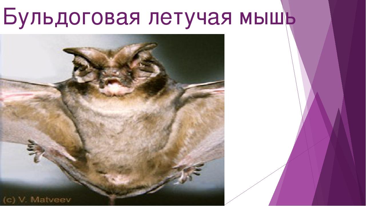 Бульдоговая летучая мышь