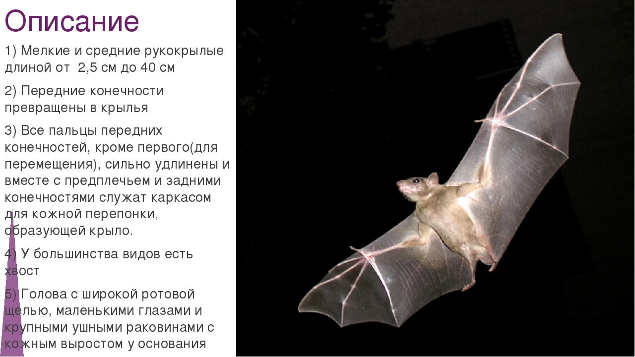 Описание 1) Мелкие и средние рукокрылые длиной от 2,5 см до 40 см 2) Передние...