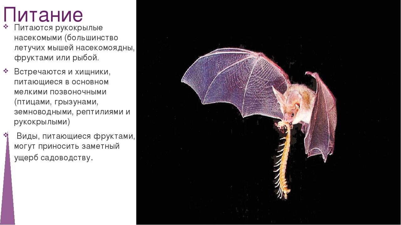 Питание Питаются рукокрылые насекомыми (большинство летучих мышей насекомоядн...