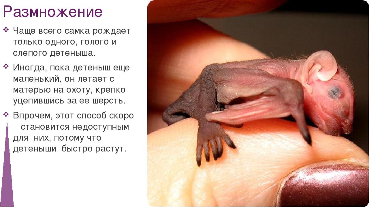 Размножение Чаще всего самка рождает только одного, голого и слепого детеныша...
