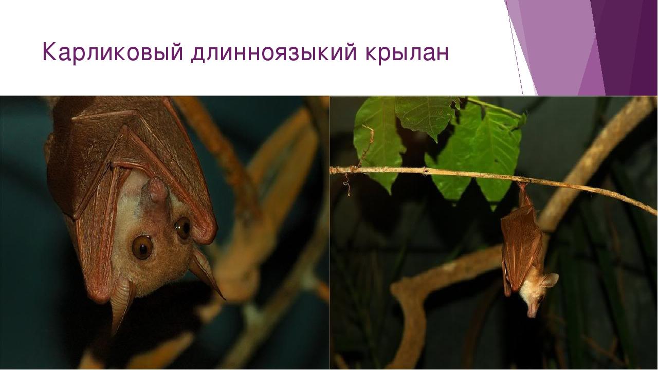 Карликовый длинноязыкий крылан