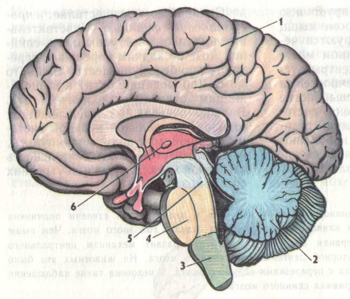 Картинки головного мозга в разрезе