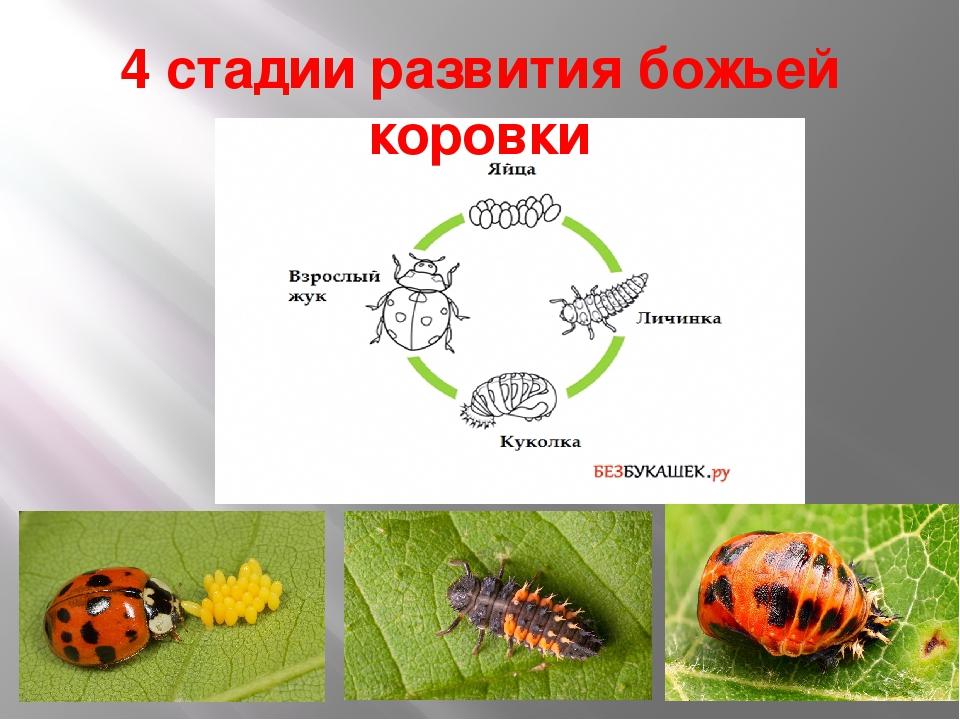 Днем космонавтики, цикл развития божьей коровки в картинках