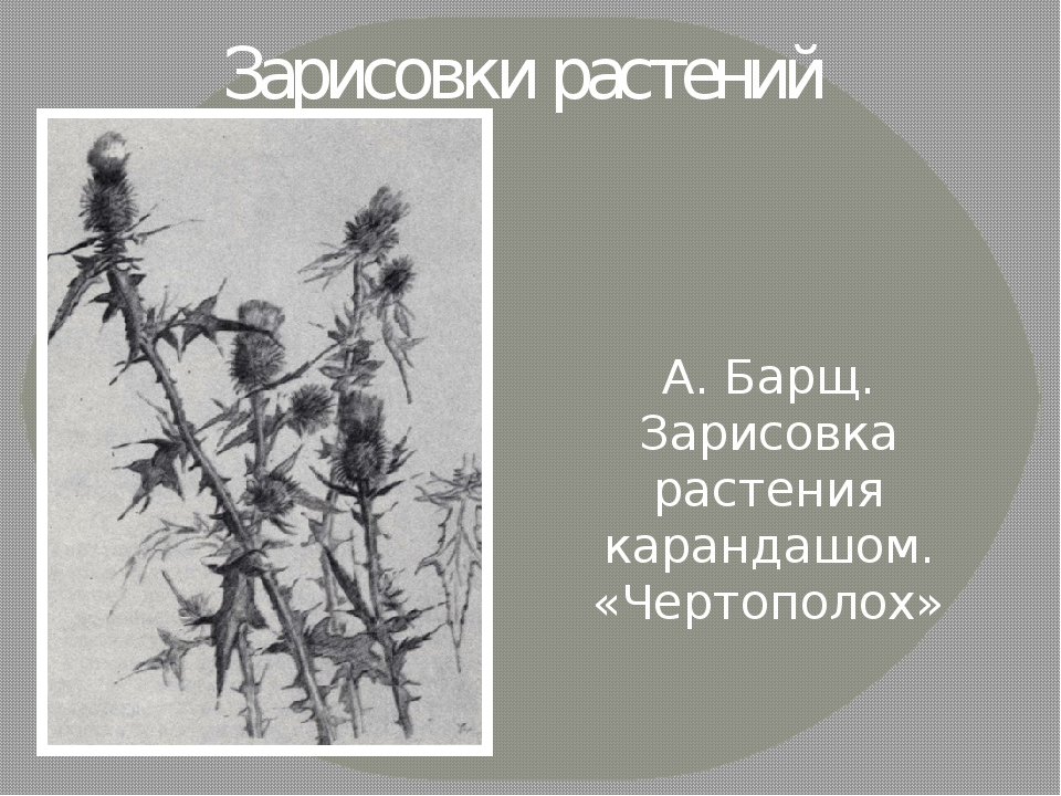 Зарисовки растений А. Барщ. Зарисовка растения карандашом. «Чертополох»