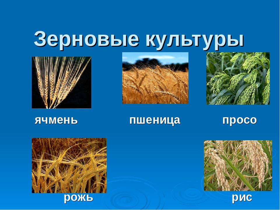 картинки зерновых растений с названиями ругайтесь людьми темное