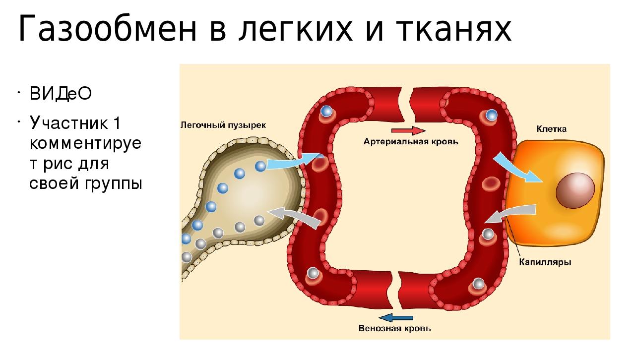 Газообмен в легких и тканях ВИДеО Участник 1 комментирует рис для своей группы