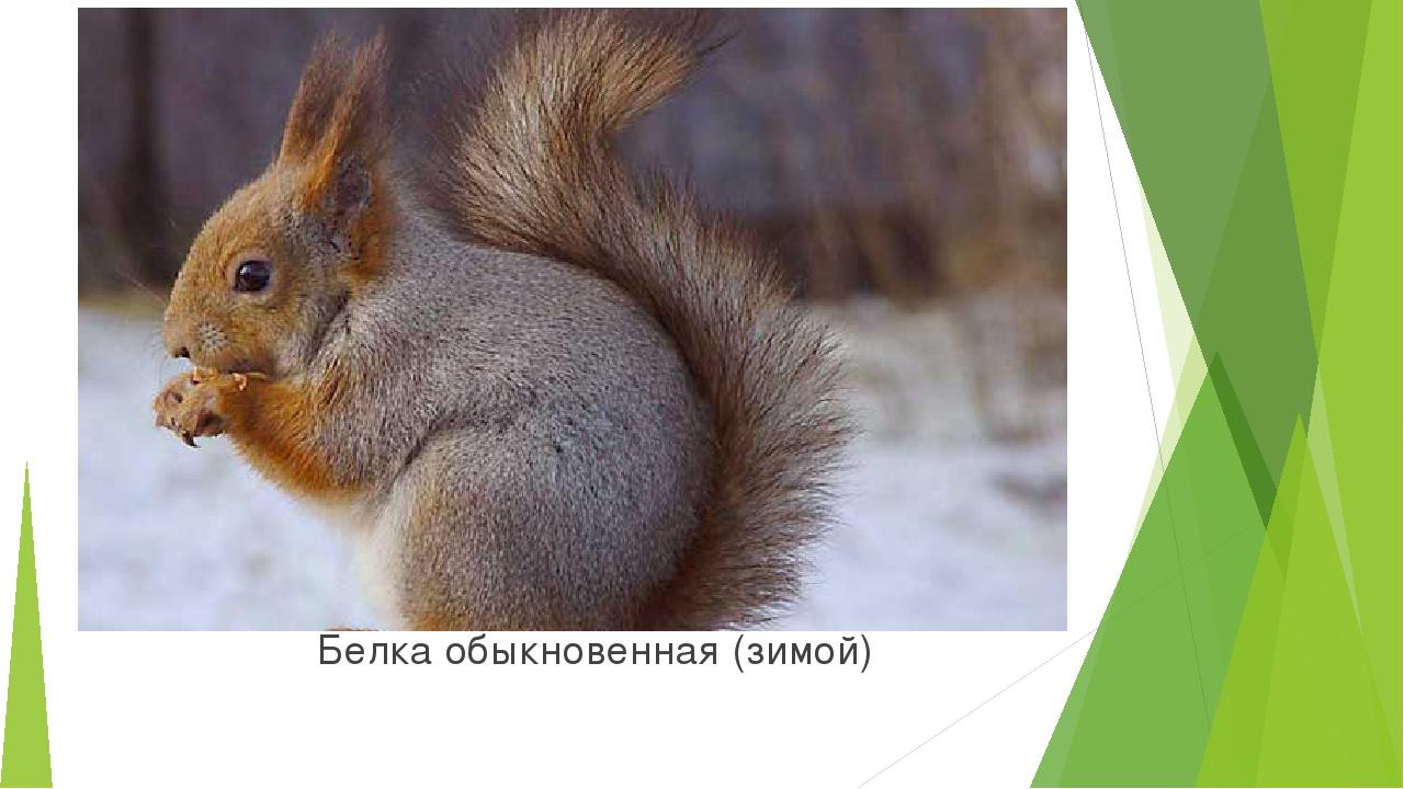Белка обыкновенная (зимой)