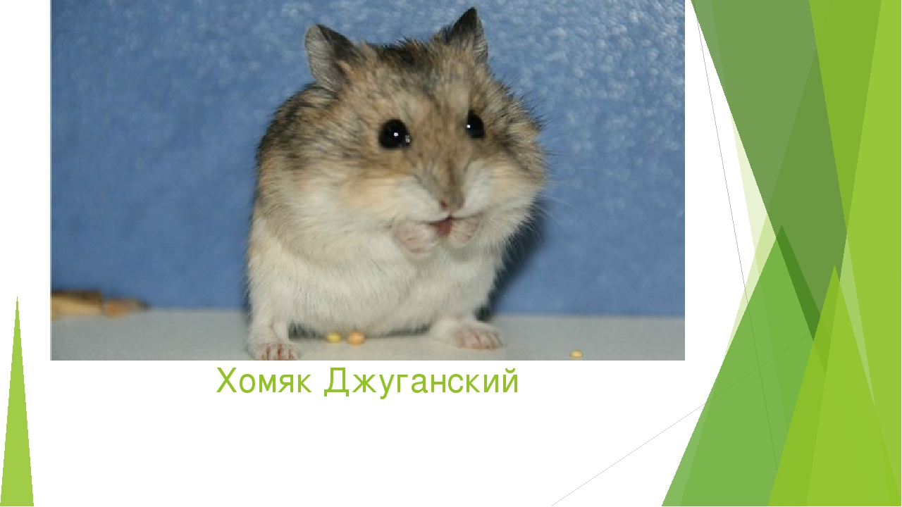 Хомяк Джуганский
