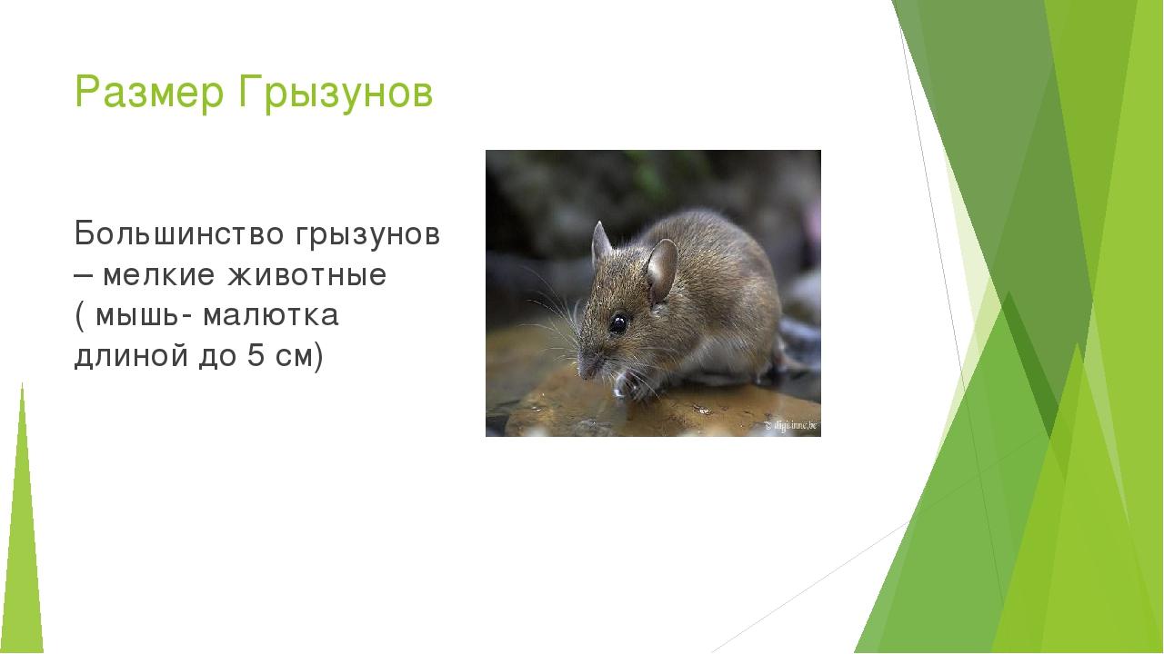Размер Грызунов Большинство грызунов – мелкие животные ( мышь- малютка длиной...