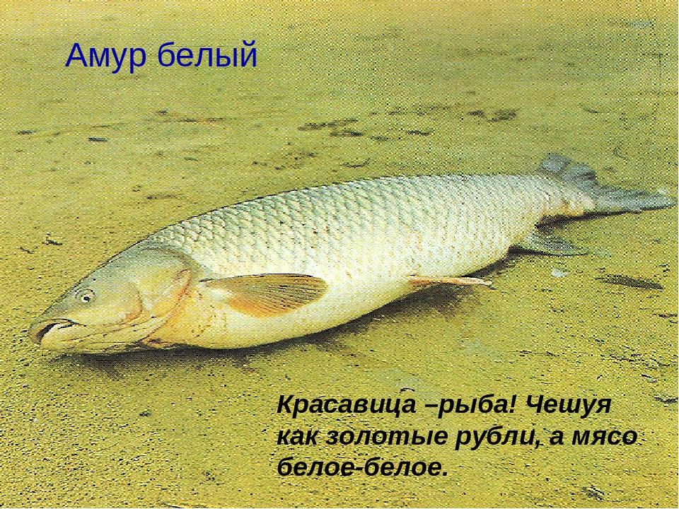 рыбалка белый амур купить