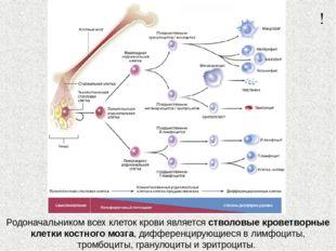 Родоначальником всех клеток крови является стволовые кроветворные клетки кост