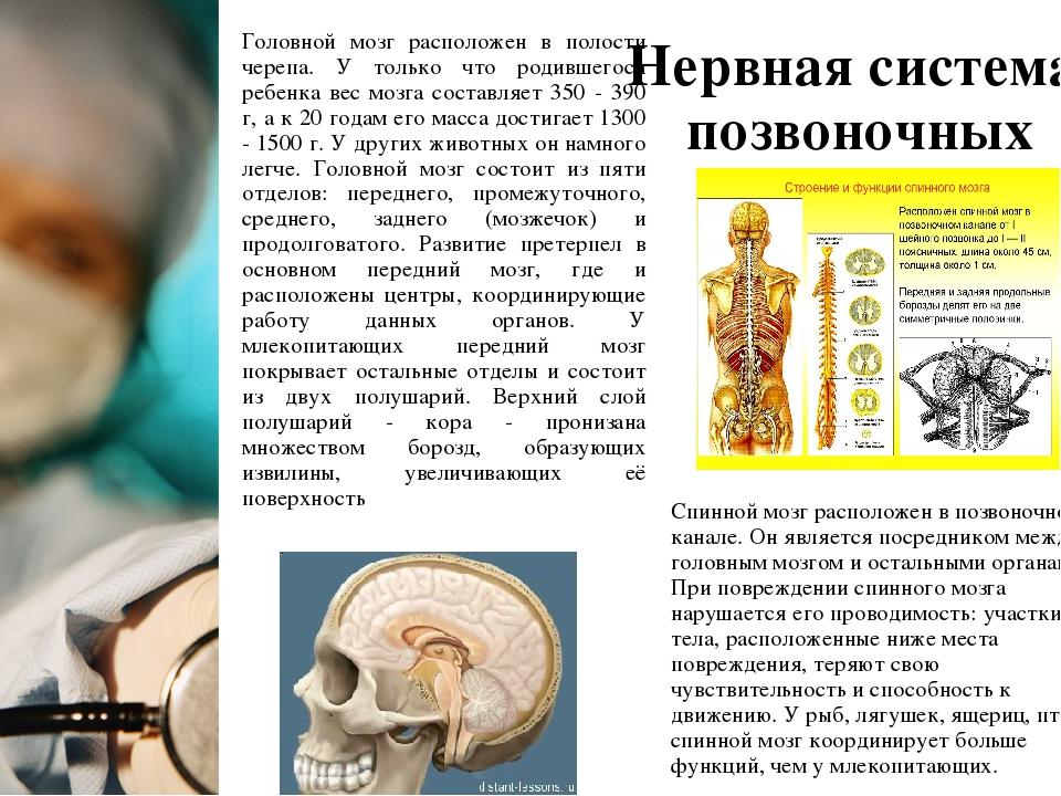 Нервная система позвоночных Головной мозг расположен в полости черепа. У толь...