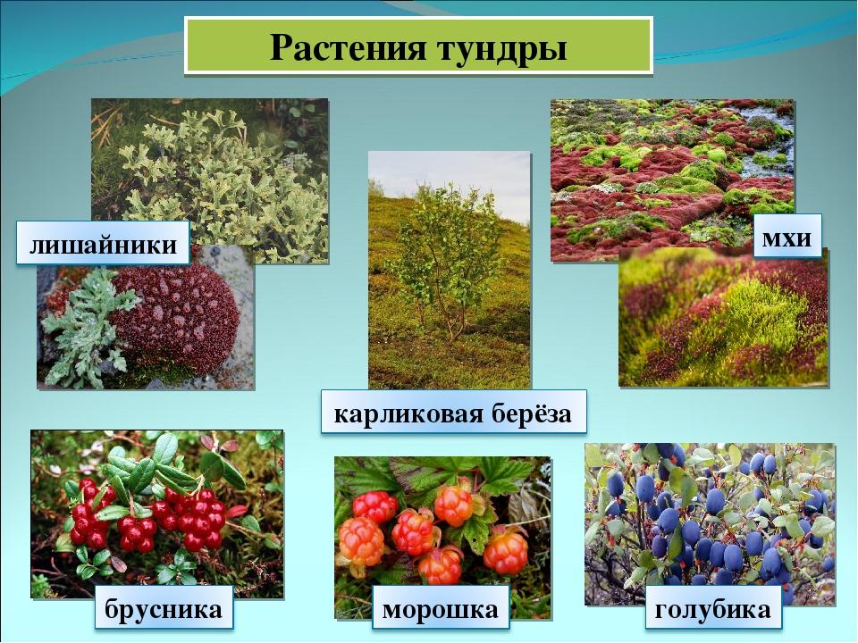 растения тундры список с фото