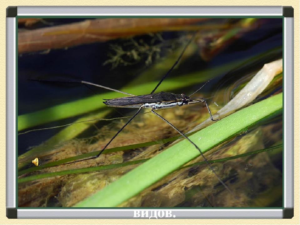 Водомерки - несколько семейств водяных клопов. Небольшие (от 2 до 34 мм) насе...