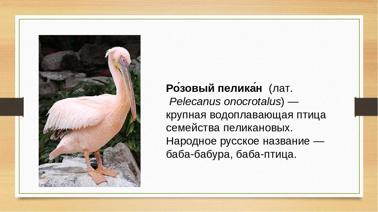 Ро́зовый пелика́н (лат.Pelecanus onocrotalus)— крупная водоплавающая птица...