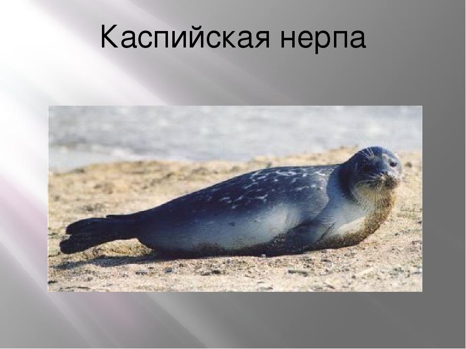 Каспийская нерпа