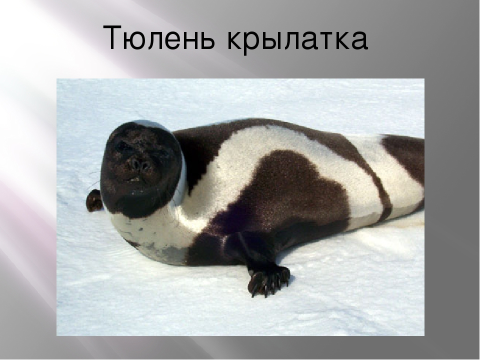 Тюлень крылатка