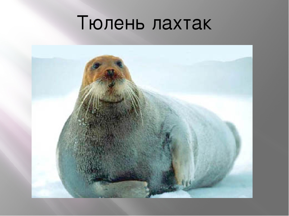 Тюлень лахтак