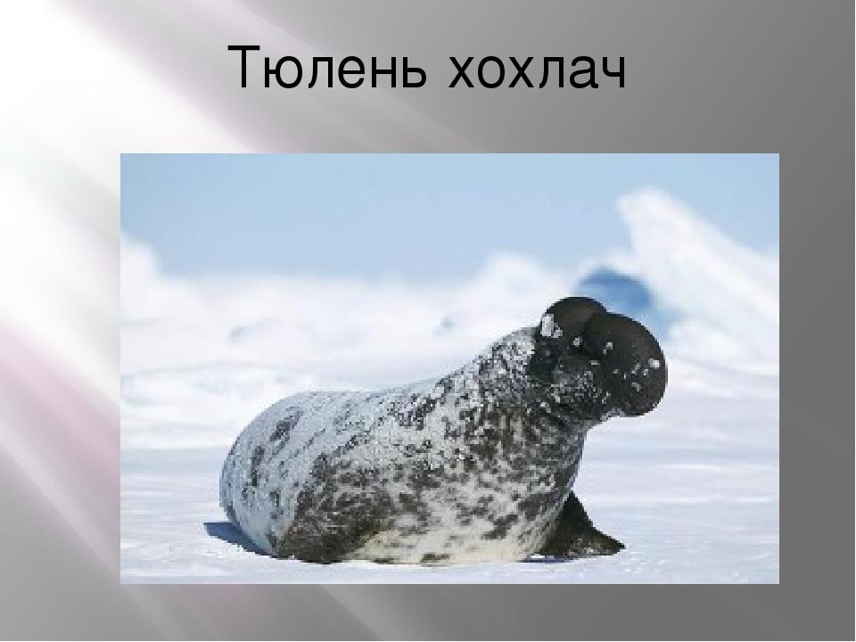Тюлень хохлач