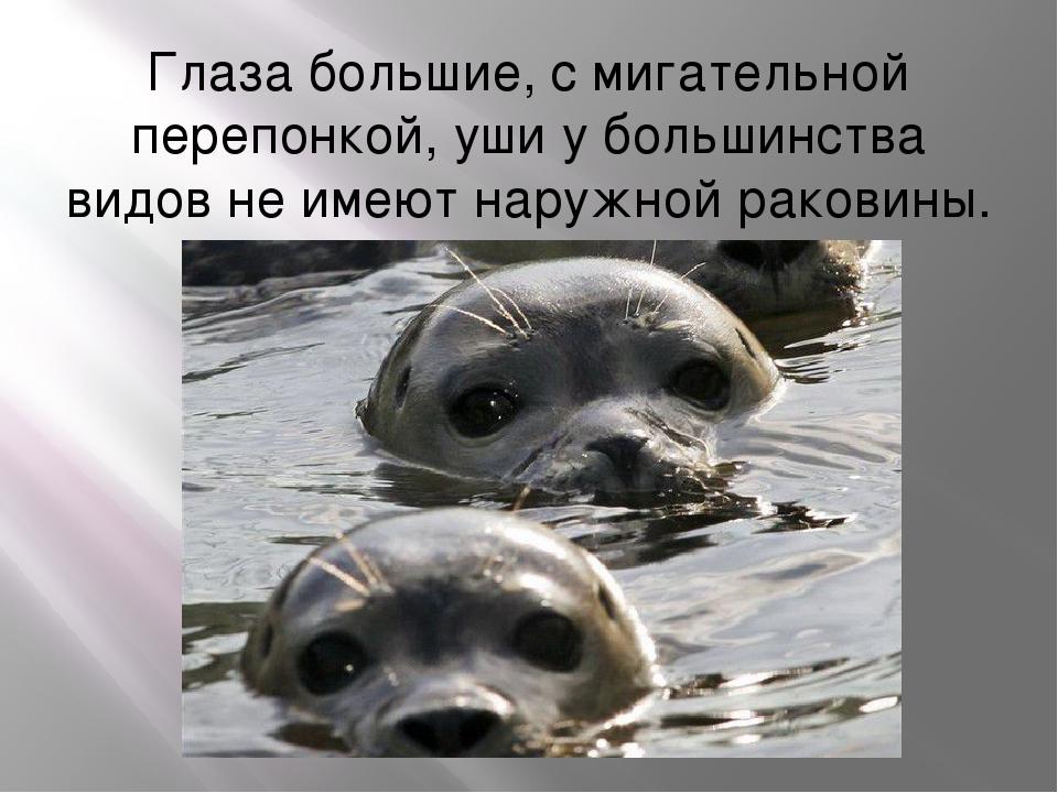 Глаза большие, с мигательной перепонкой, уши у большинства видов не имеют нар...