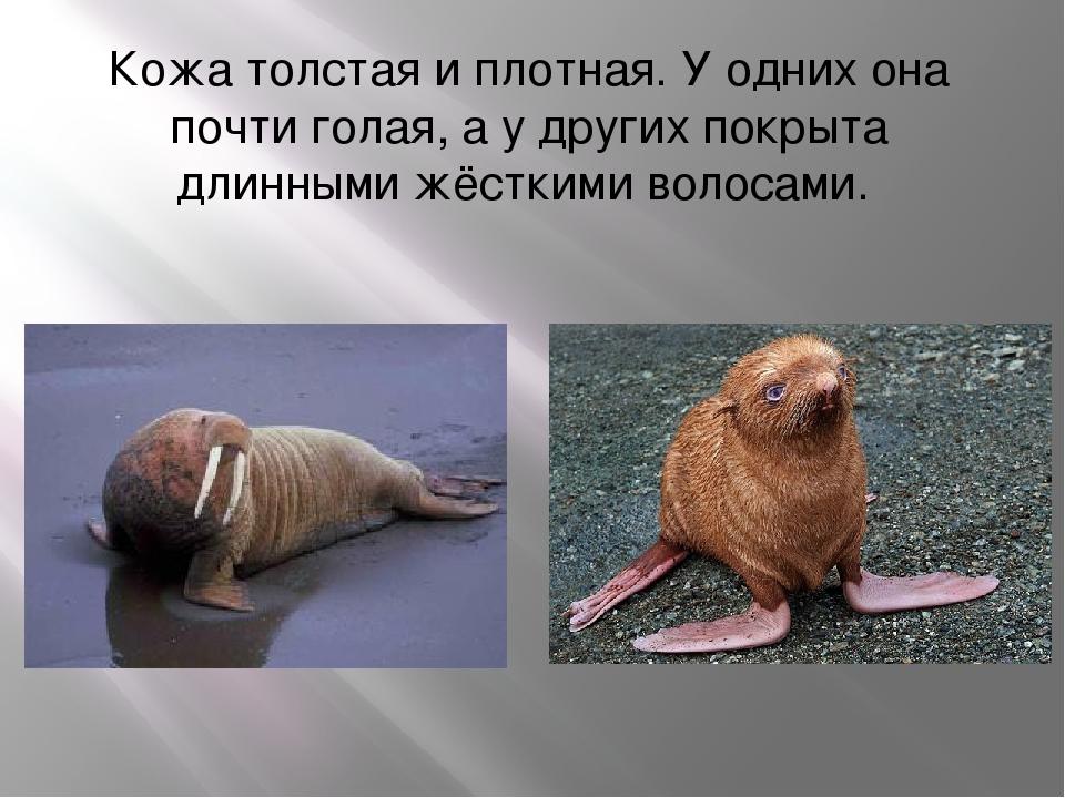 Кожа толстая и плотная. У одних она почти голая, а у других покрыта длинными...