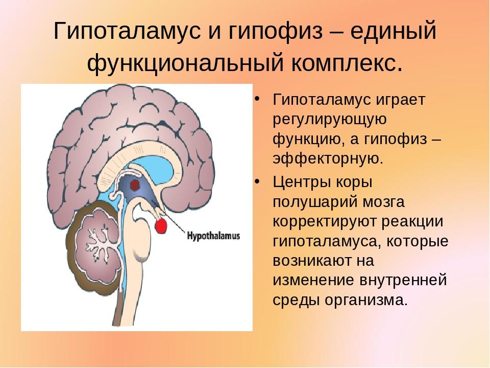 Гипоталамус в картинках