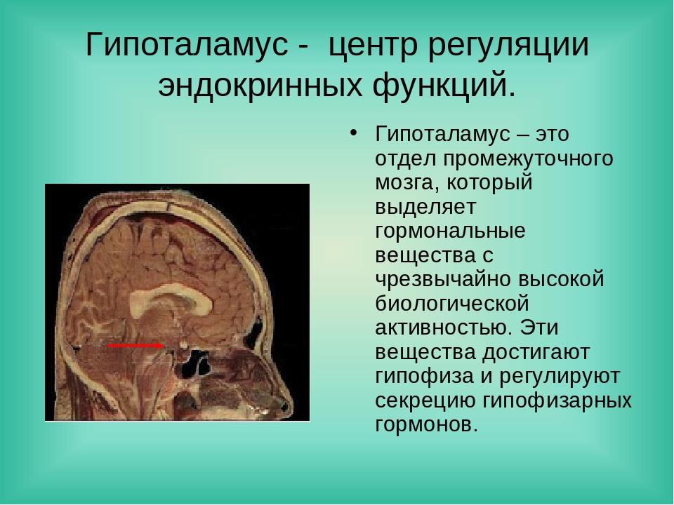 Гипоталамус - центр регуляции эндокринных функций. Гипоталамус – это отдел пр...