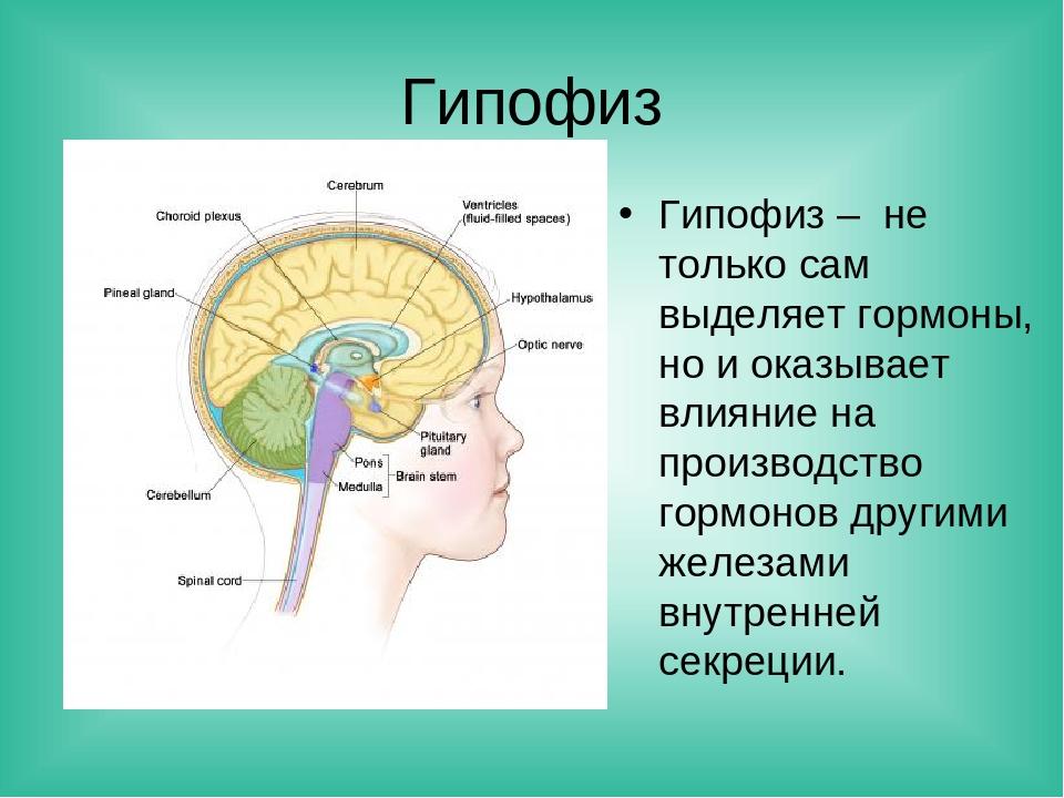 Гипофиз Гипофиз – не только сам выделяет гормоны, но и оказывает влияние на п...