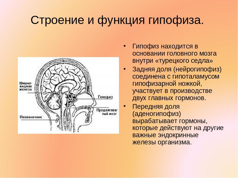 Строение и функция гипофиза. Гипофиз находится в основании головного мозга вн...