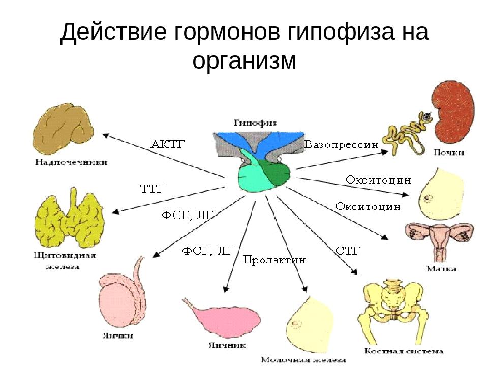 Действие гормонов гипофиза на организм