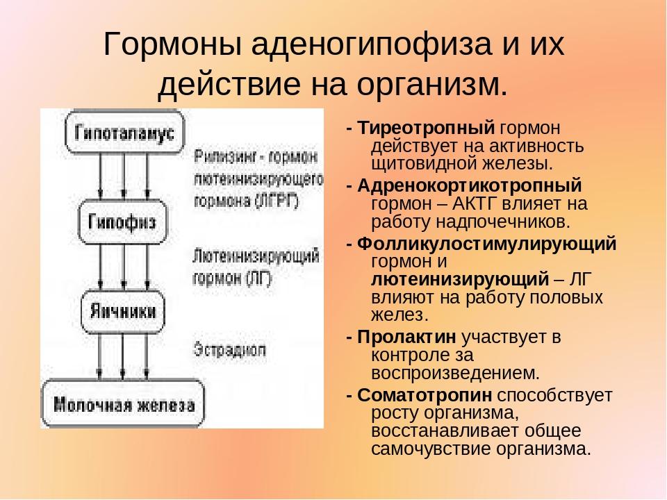 Гормоны аденогипофиза и их действие на организм. - Тиреотропный гормон действ...