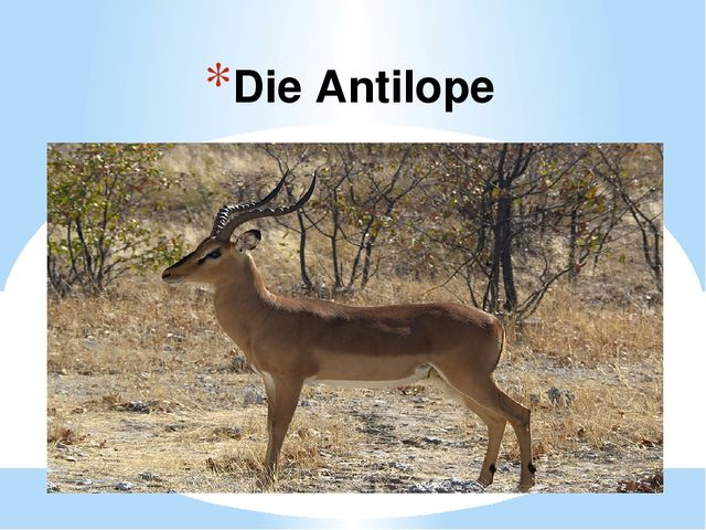 Die Antilope
