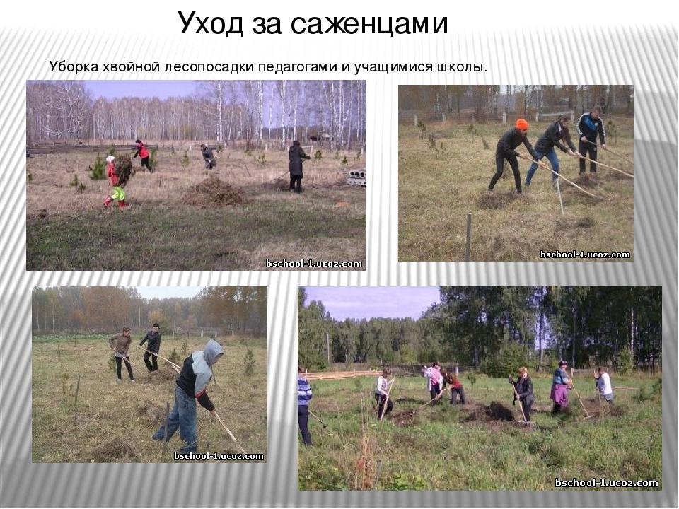 Уход за саженцами Уборка хвойной лесопосадки педагогами и учащимися школы.