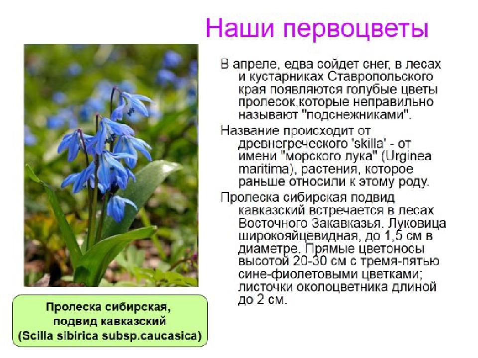 цветы первоцветы фото и описание станет