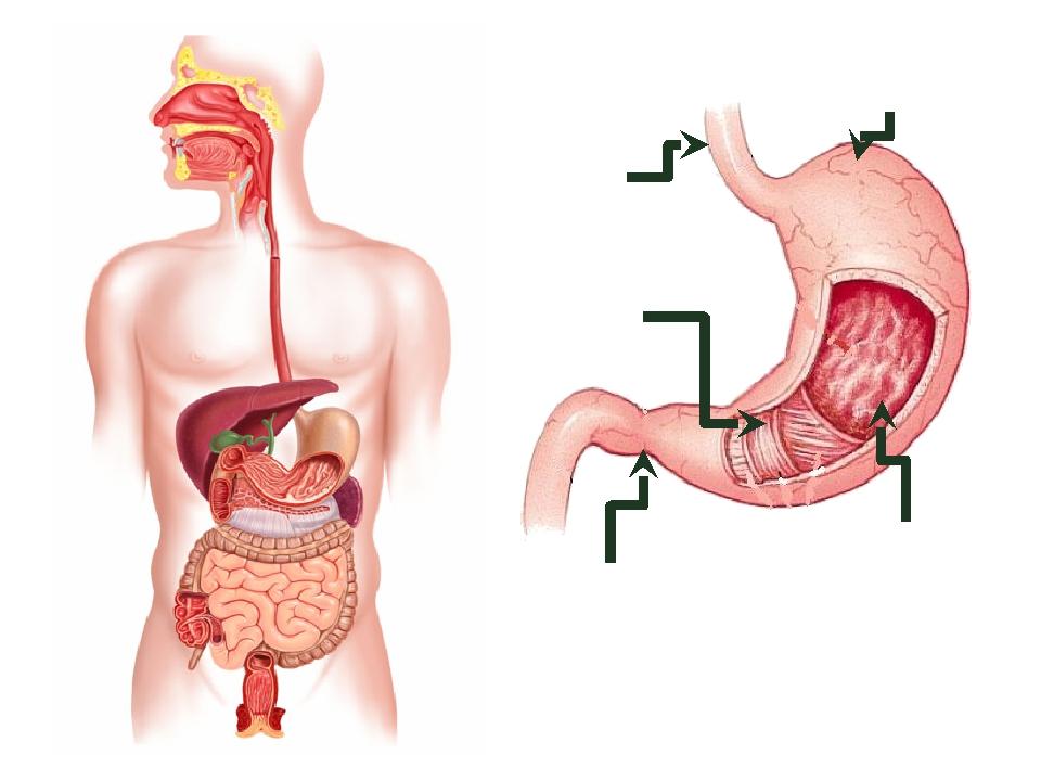 Складки слизистой оболочки Мышечные слои Сфинктер Соединительная ткань Пищевод