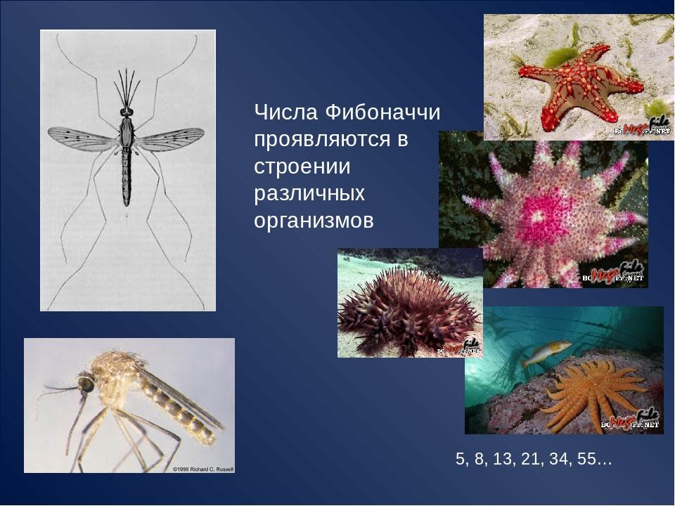 Числа Фибоначчи проявляются в строении различных организмов 5, 8, 13, 21, 34,...