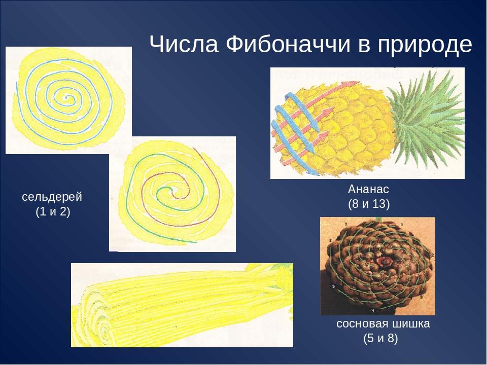 Числа Фибоначчи в природе сельдерей (1 и 2) Ананас (8 и 13) сосновая шишка (5...
