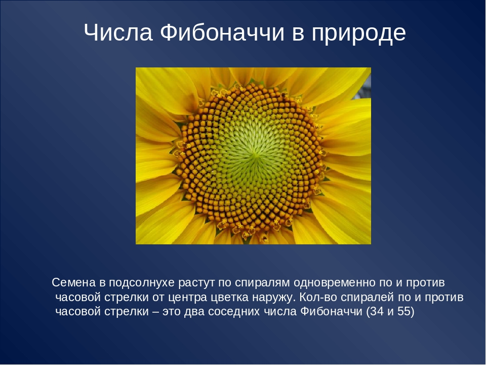 Числа Фибоначчи в природе Семена в подсолнухе растут по спиралям одновременно...
