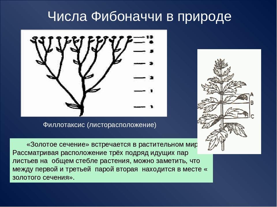 Числа Фибоначчи в природе Филлотаксис (листорасположение) «Золотое сечение» в...