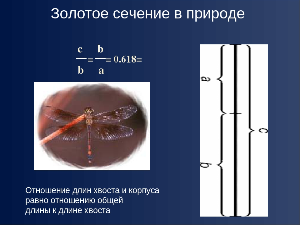 c b b a = = 0.618= φ Отношение длин хвоста и корпуса равно отношению общей дл...