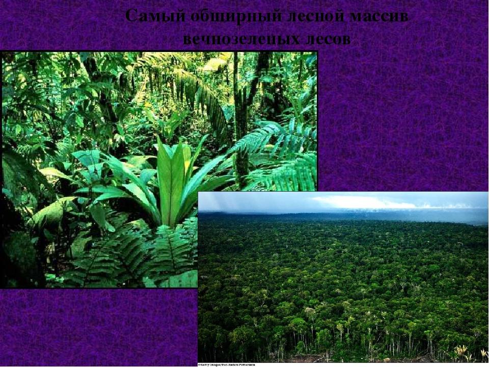Самый обширный лесной массив вечнозеленых лесов