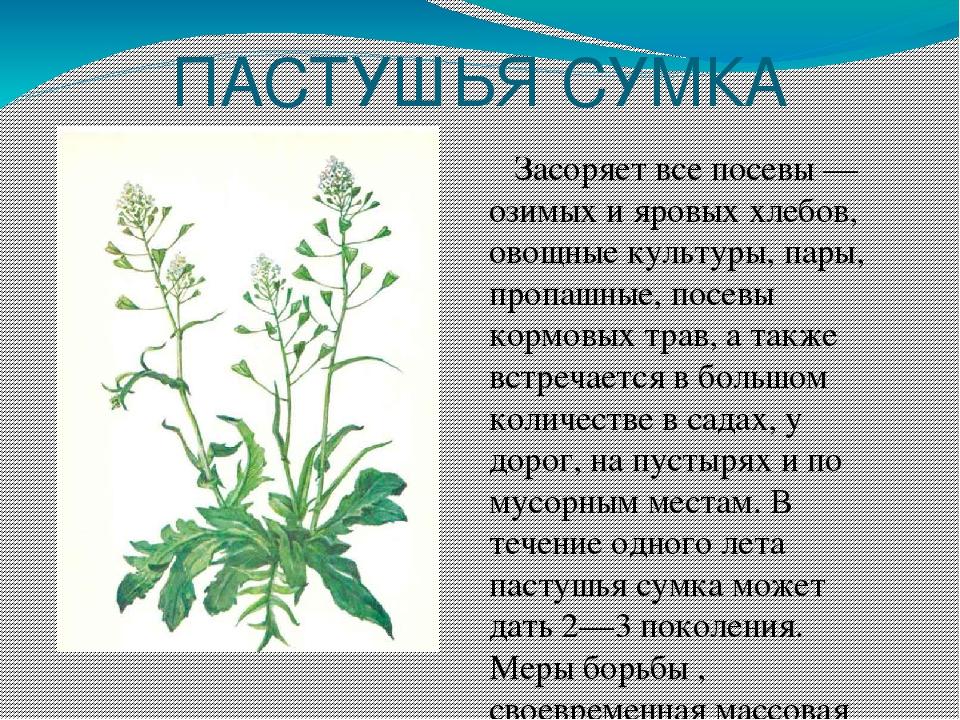 картинки сорных растений с названиями рассказал