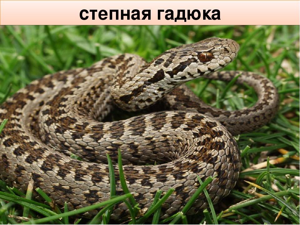Змеи ростовской области в картинках