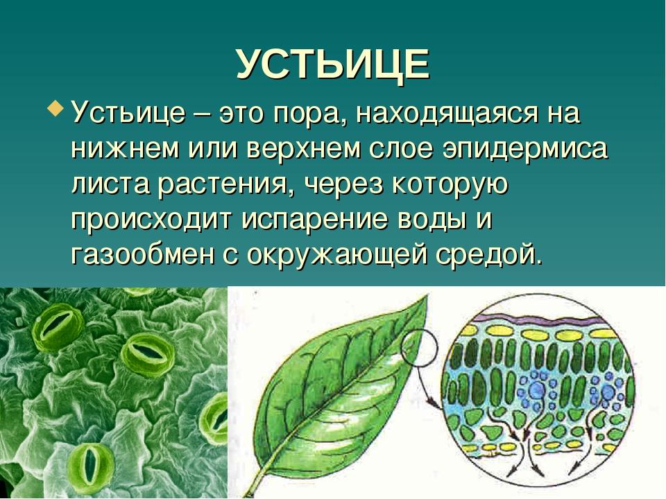 царапины картинки устьица листьев изобразительного искусства раздел
