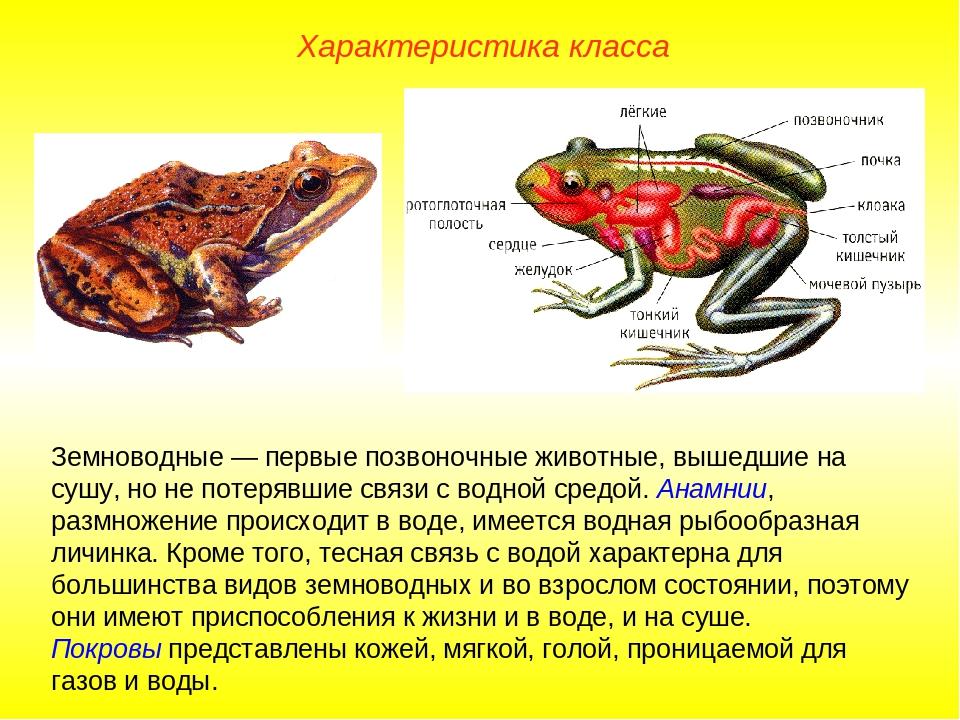 Характеристика класса Земноводные — первые позвоночные животные, вышедшие на...